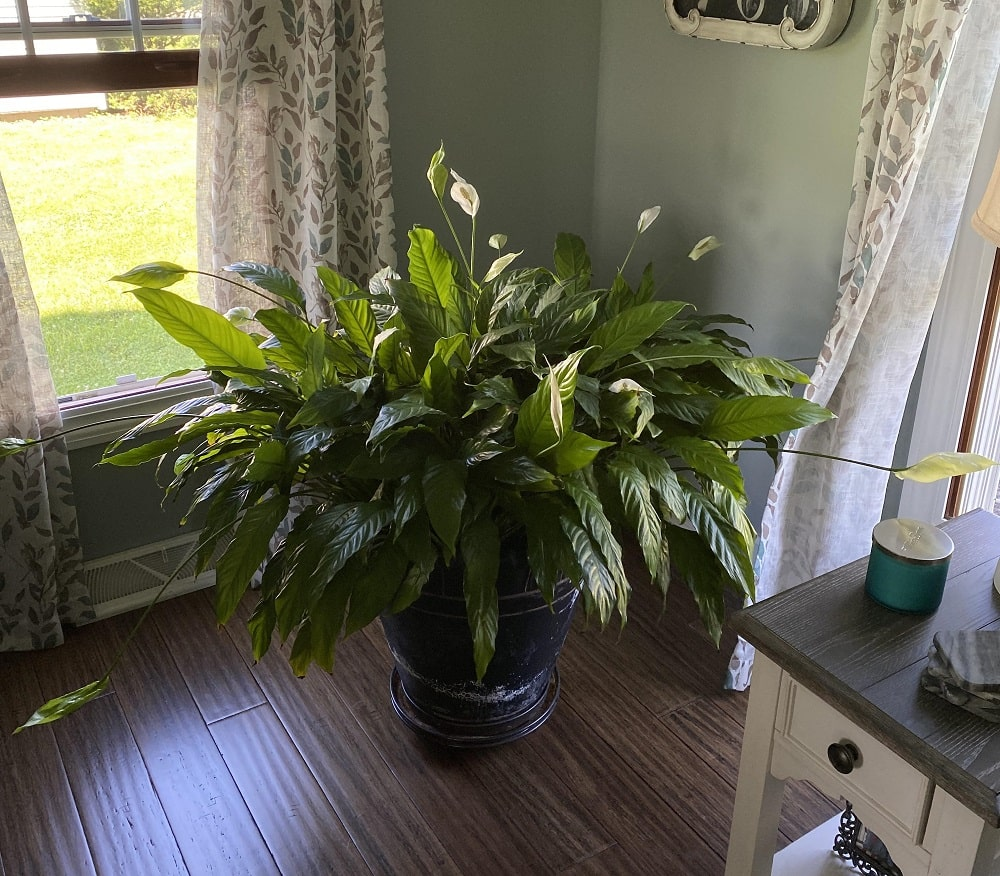 Peace Lily Leaves Turning Yellow
