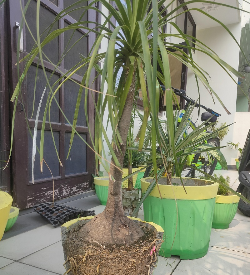 Why Does My Ponytail Palm Have Brown Tips